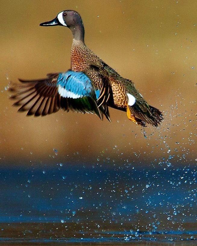 Blue-winged Teal Duck via Bird's Eye View at www.Facebook.com/aBirdsEyeViewForYou