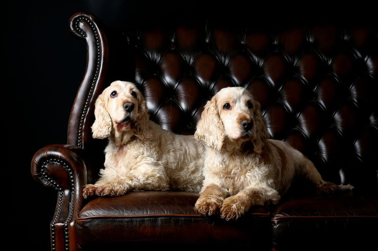 Show Cocker Spaniel littermates. 9 year old Lola & her brother Harry. One of our entries in the AHT's 75 dog breed - charity challenge