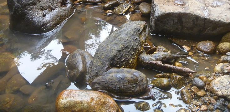goliath frog facts - Google Search