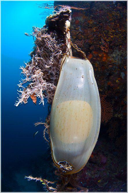 Mermaids Purse -   An egg case or egg capsule, colloquially known as a mermaid's purse or devil's purse, is a casing that surrounds the fertilized eggs of some sharks, skates, and chimaeras. They are among the common objects which are washed up by the sea. They are made of collagen protein strands.