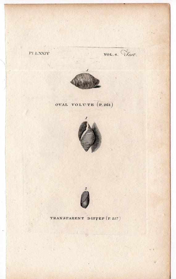1812 shell print original antique sea shore ocean engraving - oval volute & dippep shells