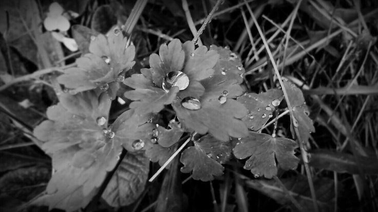 Rains, rain, nature, black and white, leaves, 🍂, photographed, 📷, 🌹, 💧, drops
