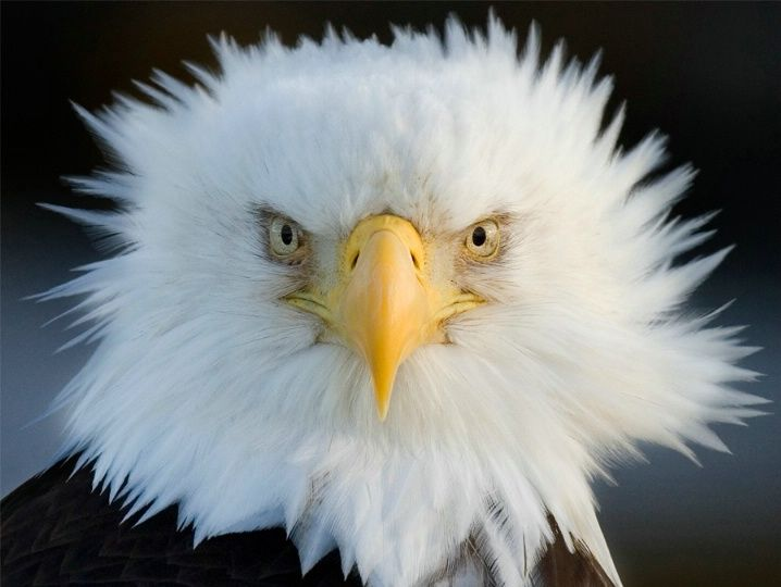 American Bald Eagle | American Bald Eagle - Photograph at BetterPhoto.com...WOW!!! COOL PIC...