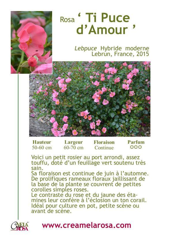 rosier nain 'Ti Puce d'Amour' creamelarosa pour petit jardin
