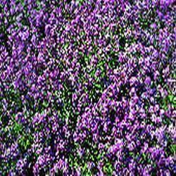 Alyssum Royal Carpet Kings Seeds £1.10