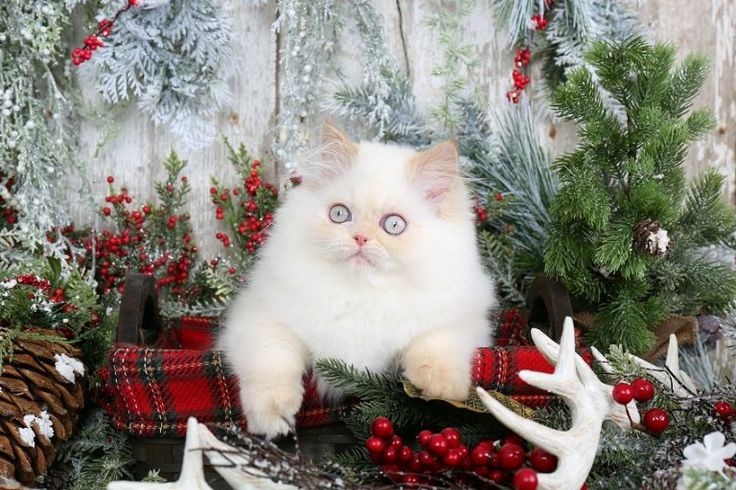 Boomer - Click Here - Ultra Rare Persian Kittens For Sale - (660) 292-2222 - Located in Northern Missouri (Shipping Available)Ultra Rare Persian Kittens For Sale – (660) 292-2222 – Located in Northern Missouri (Shipping Available)