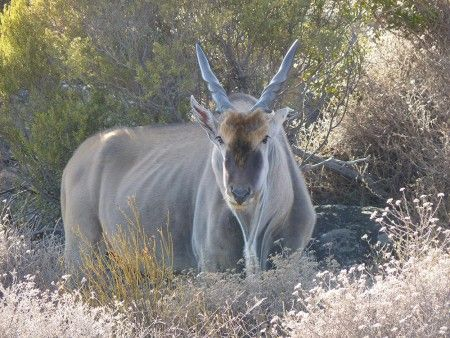 Eland spotted by Africa expert Tania, on her recent visit to Bushman's Kloof in South Africa.