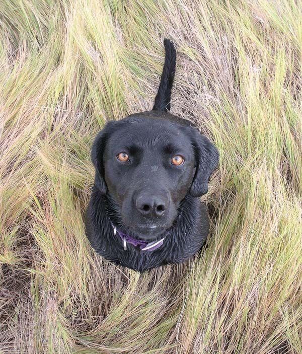 Labrador Retriever Names Black Yellow Chocolate Labs