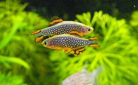 Le poisson Galaxy est un incontournable de la nano aquariophilie car ce Microrasbora est joli, sa maintenance et sa reproduction en aquarium est simple