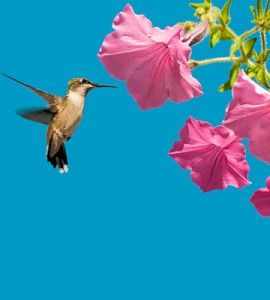 Attract Hummingbirds To Your Garden With Tips From UW Extension Expert Ann  Wied.
