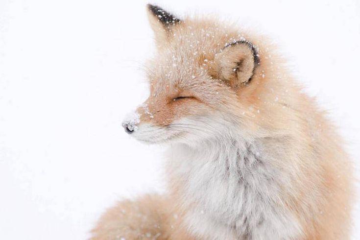 Foxes Photography in Hokkaido