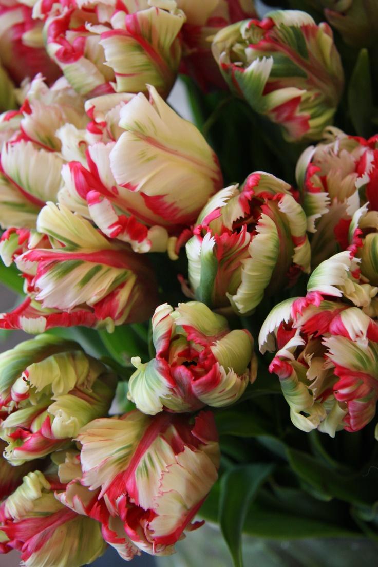 Tulip- Estella Rijnveld