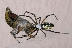 Estimated that spiders have been around for at least 140 million years, this means creatures have been prisoners in their webs for that long too. #Hubpages #spiders