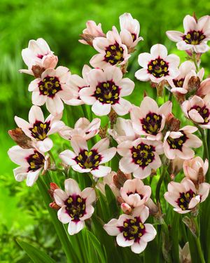 """Sparaxis """"Moonlight,"""" aka the """"Harlequin Flower"""" from South Africa. Love these!"""