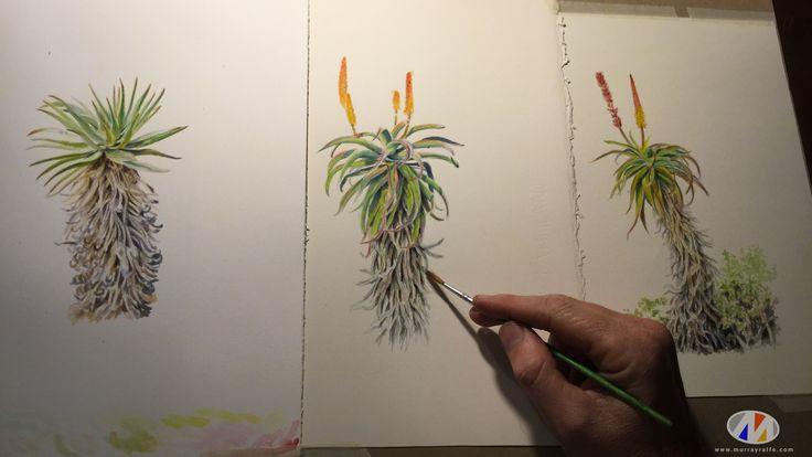 Working on Aloe watercolour paintings. Murray Ralfe