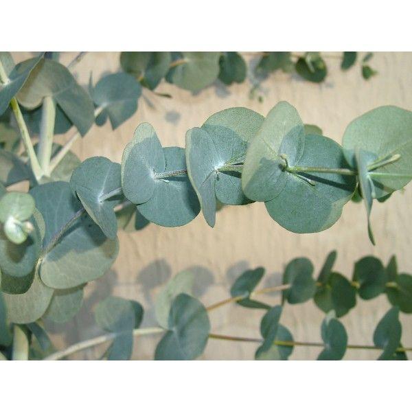 hedging screen . fast Eucalyptus glaucescens - Tingiringi Gum - foliage