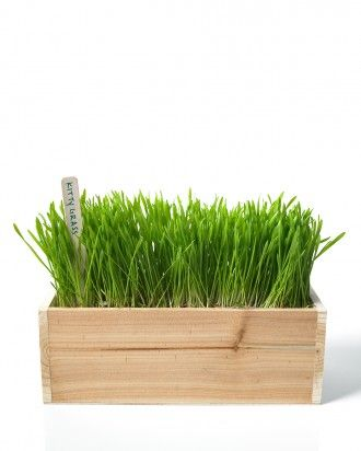 Cats love grass...satiate their cravings by growing wheatgrass for her, which is safer than your lawn or other greenery. instructions: how to grow wheatgrass