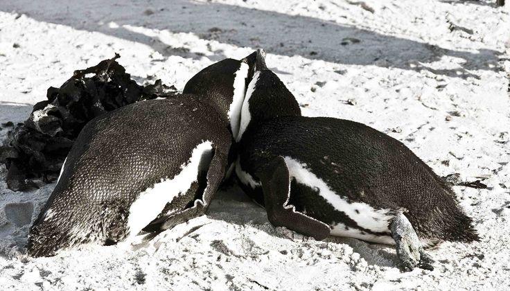 African Penguins , Boulders Beach