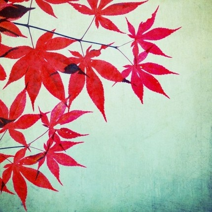 Maples.: Fall Photography, Teal Wall, Fall Leaves, Art Photography, Red Leaves, Fine Art, Red Teal, Nature Photography, Maple Leaves