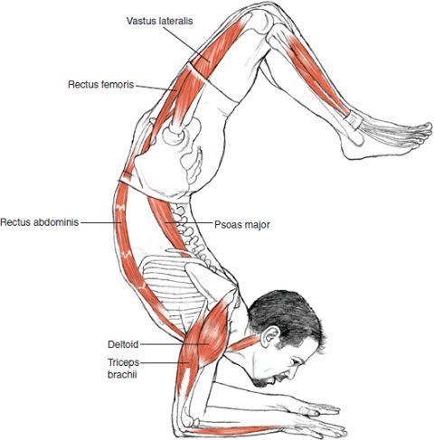 Scorpion - Leslie Kaminoff Yoga Anatomy - Illustrated by Sharon Ellis