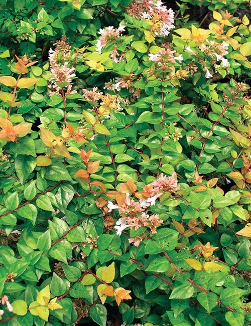 Abelia Canyon Creek Sun To Partial Shade 3 5t X 5 6w Tinga