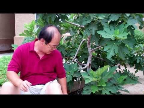 [무화과] * 무화과 꽃의 비밀 ~ Secret of Fig Flowers - YouTube