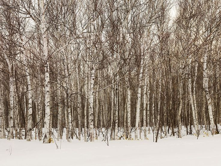 Birch-Forest 	Josef Hoflehner