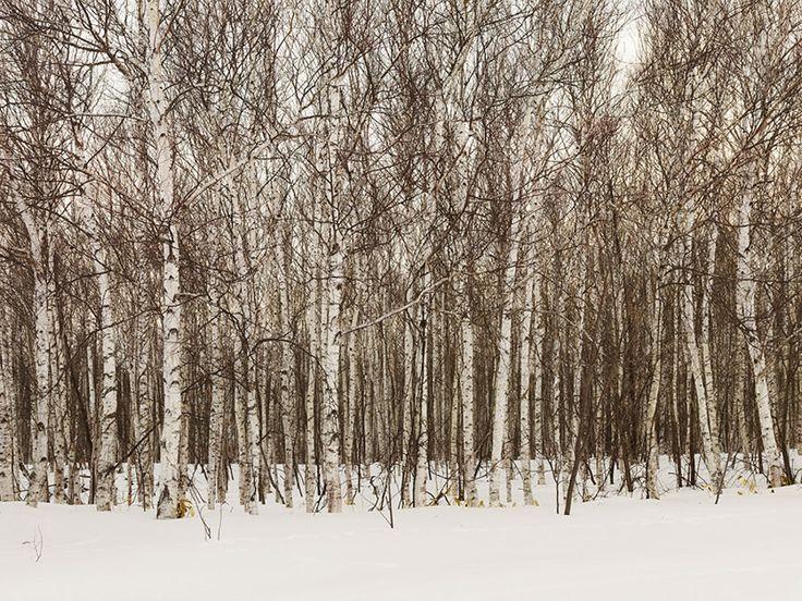 Birch-Forest Josef Hoflehner