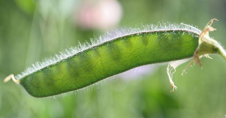 Estágios do ciclo de vida de uma ervilha. Ervilhas são plantas anuais, o que significa que elas completam seus ciclos de vida, da germinação à formação de novas sementes, dentro de um ano. Elas são parte da família dos legumes ou cientificamente falando, as leguminosas. Ervilhas são fáceis de cultivar e, normalmente, usadas em salas de aula para ensinar às crianças sobre biologia das ...