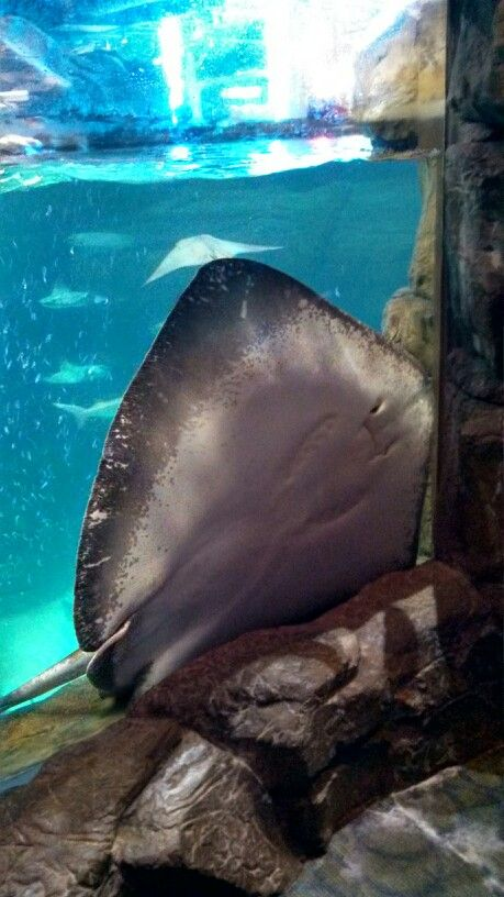 Ripley 39 S Aquarium Gatlinburg Tn Smoky Mountains