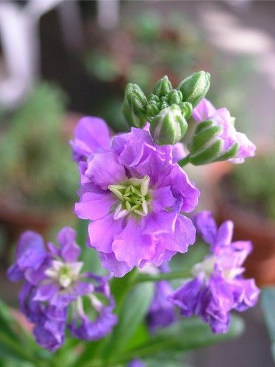Stock Plant Care: How To Grow Stock Flowers