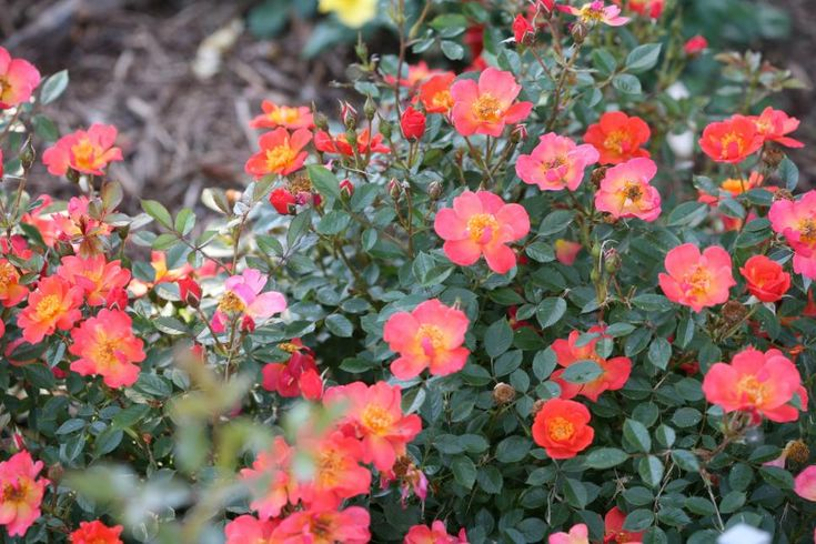 Spring ahead with a sneak peek at next year's lovely roses.