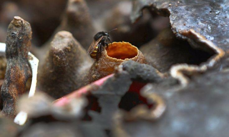 """Todos aprendemos quando crianças que as abelhas são dos mais competentes agentes polinizadores, ajudando a flora a se espalhar pela Terra. Ultimamente, porém, as abelhas nativas brasileiras estão cada vez mais ameaçadas por fatores que vão da introdução de abelhas africanas para produção de mel a desmatamentos e queimadas. Buscando reequilibrar essa questão, a prefeitura de Curitiba anunciou em maio que quinze parques da cidade ganhariam """"Jardins do Mel"""". Trata-se da distribuição de caixas…"""