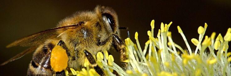 Honingbijen kunnen een rol spelen bij het ontwikkelen van nieuwe Antibiotica