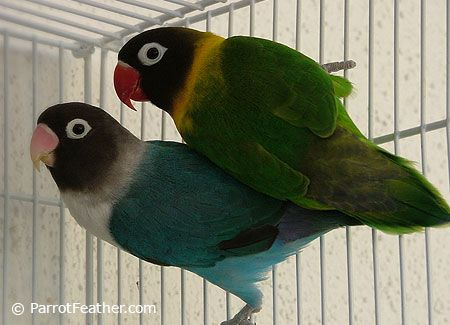 African lovebirds with name - photo#50