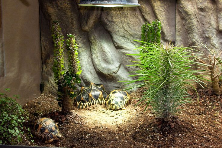 660 best images about 8 animals tortois guinea pig on. Black Bedroom Furniture Sets. Home Design Ideas