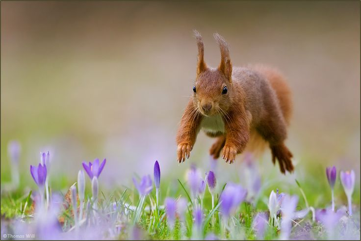 Red squirrel bouncing