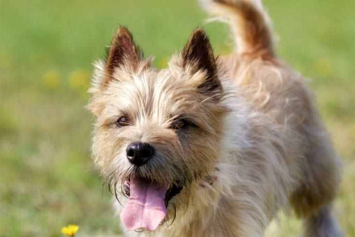Small Dogs That Don T Shed Terrier Dog Breeds Dogs Dog Breeds