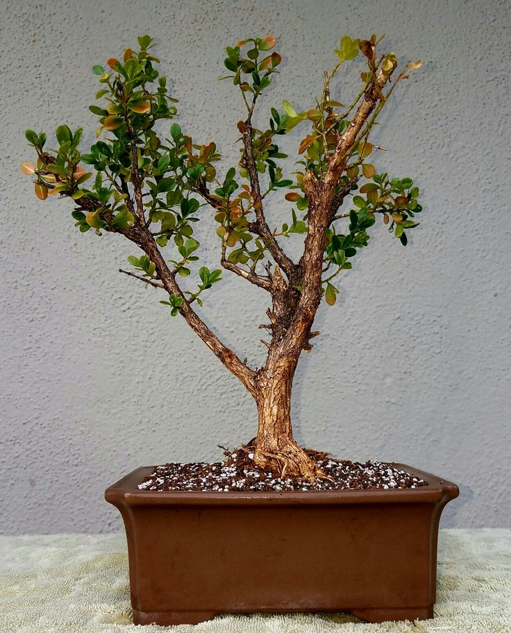 Picture #1 - This Boxwood was in a flower bed at abandoned building. I decided to give it a new home. I did some aggressive root and branch pruning. I potted this Boxwood Pre-bonsai in a rectangular non-glazed pot. I used a 40-30-30 soil mix consisting of Akadama, Pumice and Lava. 2/25/17
