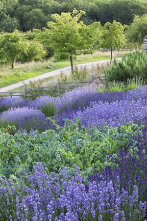 Lavender 'Hidcote Blue' grows with Cerinthe on the bank at Perch Hill