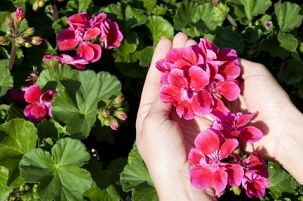 Gerânio ou Sardinheira: Planta de flor comestível ou com pétalas ou flores comestíveis! As pétalas dos pelargónios têm um sabor que é quase sempre idêntico ao odor das suas folhas e varia do limão ao mentolado.