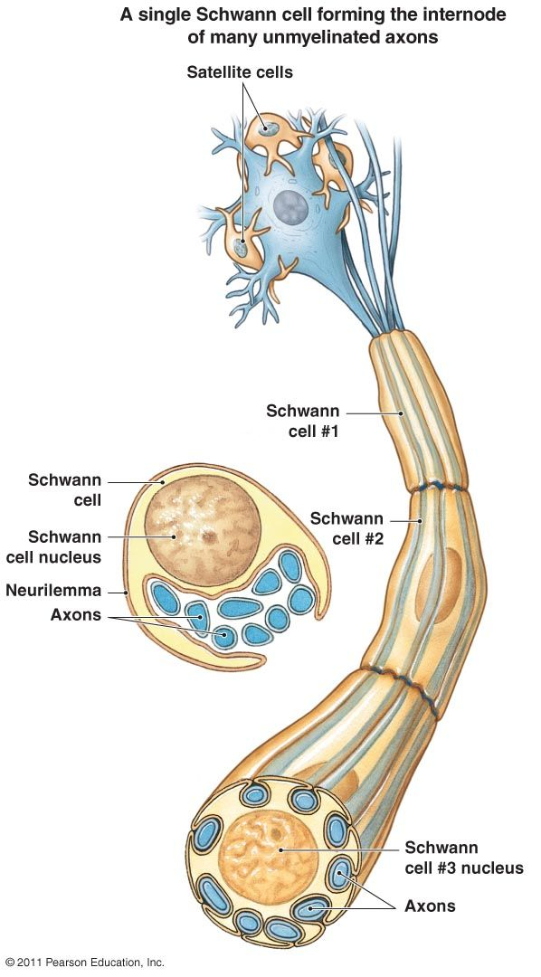 Schwann cell forming the internode of many unmyelinated for What are internodes