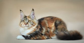 Maine Coon, Black torti tabby blotched & white (f 09 22). CH Ellada Baltic Wind*LT