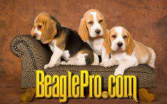 How to Properly Feed a Beagle Puppy, Adult or Senior Dog