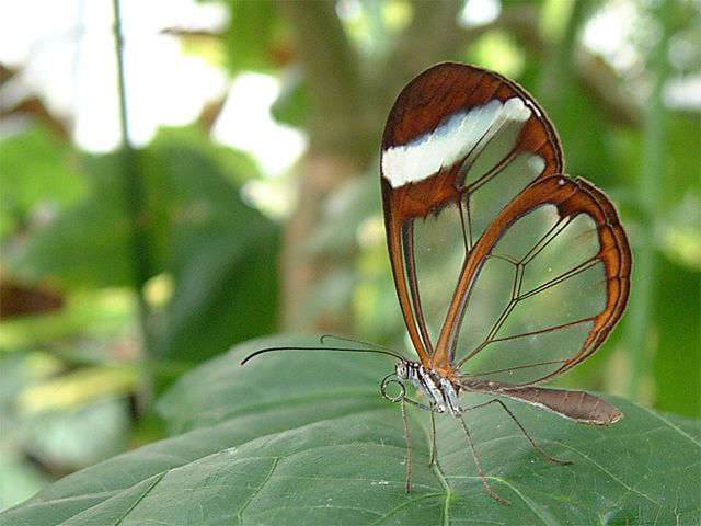 Butterflie Exotic Rainforest Butterfly | tropical butterfly with transparent wings is used by rainforest ...