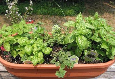 Fűszernövények balkonban