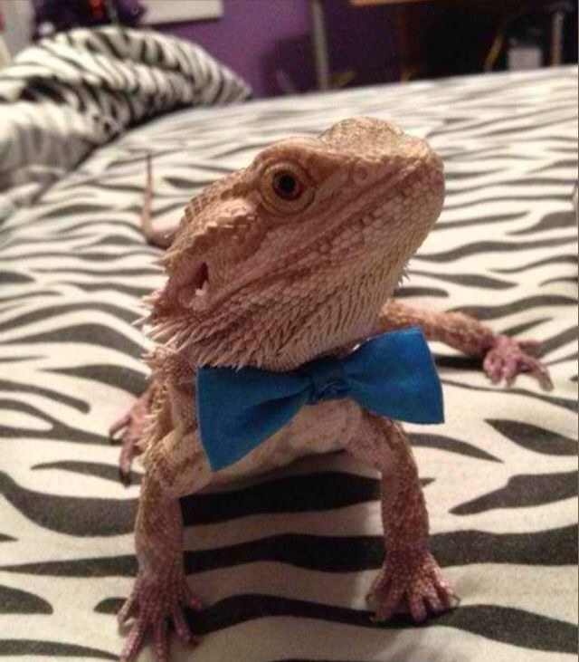 17 Best Images About Bearded Dragon Obsession On Pinterest