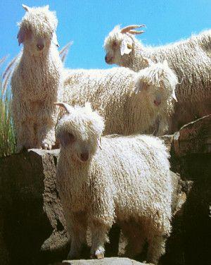 Angora Goats in Camdeboo, South Africa