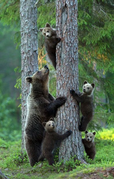Four bear cubs climb up a tree for safety as an alpha male approaches them. Fearing for her cubs lives the mother bear urged them to scramble up the nearest tree trunk while she kept watch on the ground. The scene was captured by photographer Lauri Tammik in woods in north Finland.