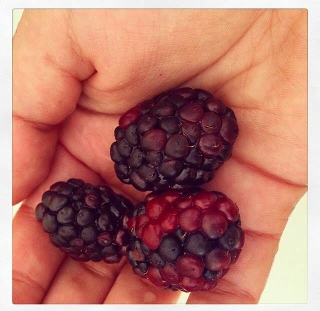 Zarzamoras Uno de las frutas favoritas para mi desayuno, es baja en calorías y por ser frutó silvestre este alimento está dentro de la lista de los alimentos anti cancerígenos! Así mismo es antioxidante lo cual es muy favorable para nuestra salud y belleza. Normalmente yo lo incluyo en mis ensalada de frutas o lo añado a mis desayunos cuando preparó avena o yogur con granola